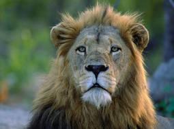 lion Afrique du Sud Afrique du Sud Johannesbourg Voyage en Afrique du Sud